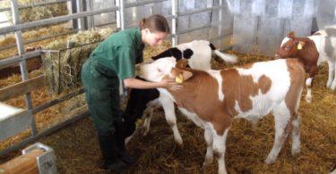 стельность коровы народными средствами