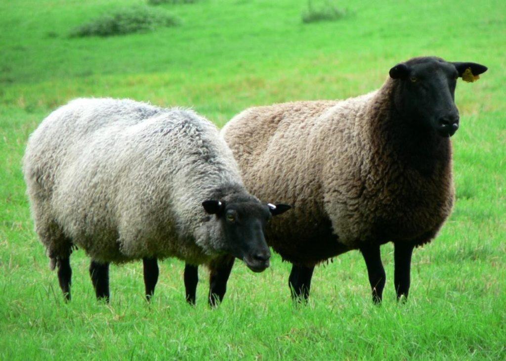 Средняя масса овцы
