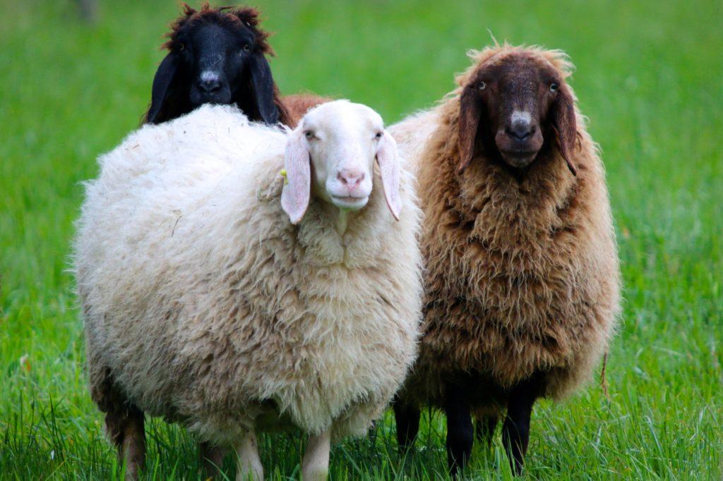 вес овцы