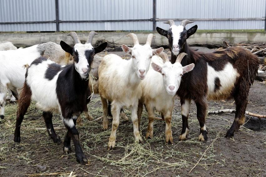 Как определить срок беременности у козы если не знаешь когда она покрылась thumbnail