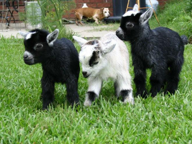 узнать покрылась коза или нет
