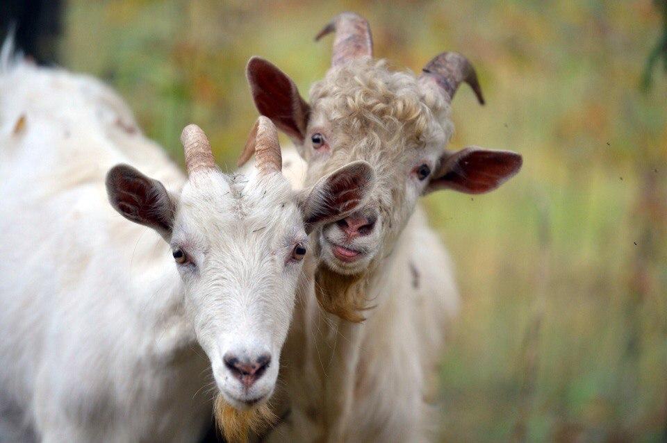 узнать беременная ли коза