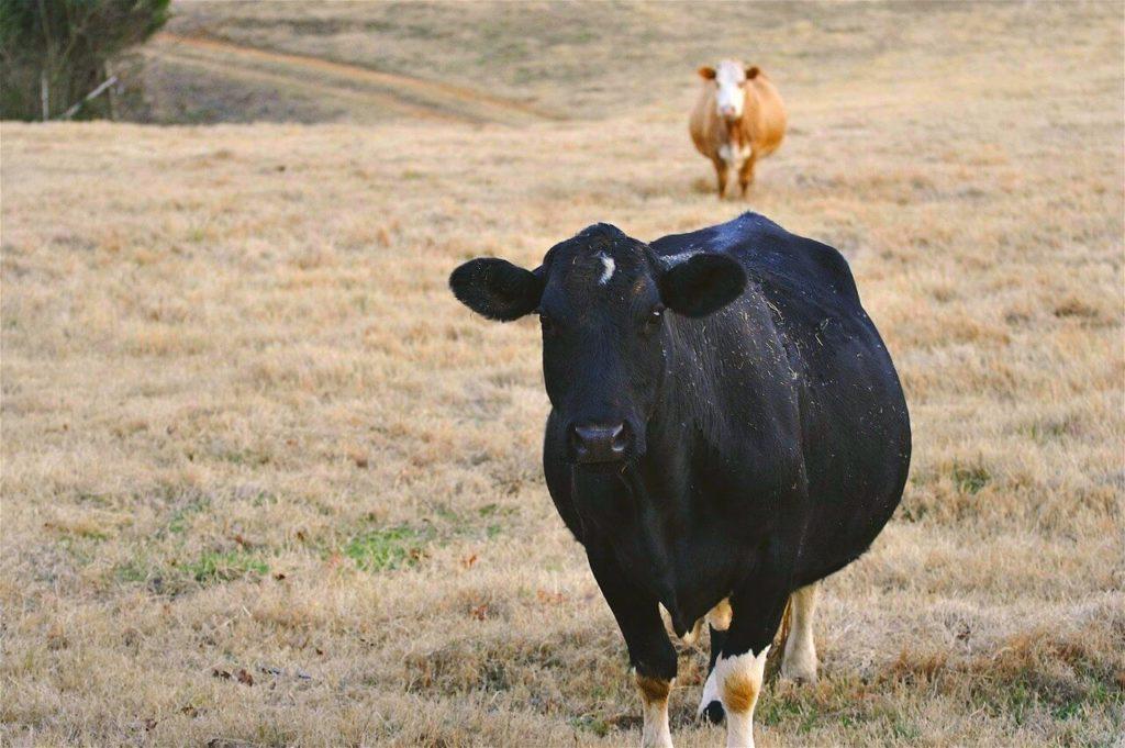 узнать что корова беременна