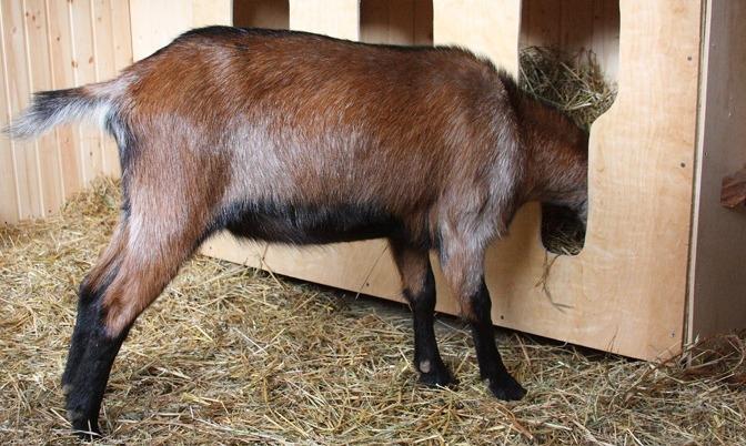 сделать кормушку для козы своими руками