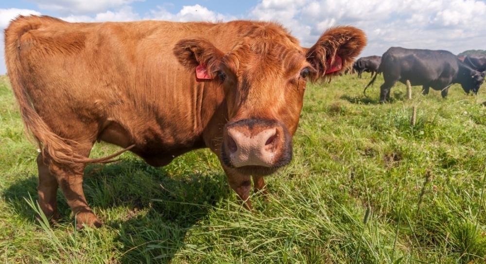 Отважная корова сбежала от смерти на остров