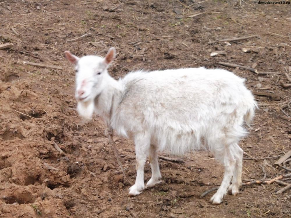 почему коза не приходит в охоту