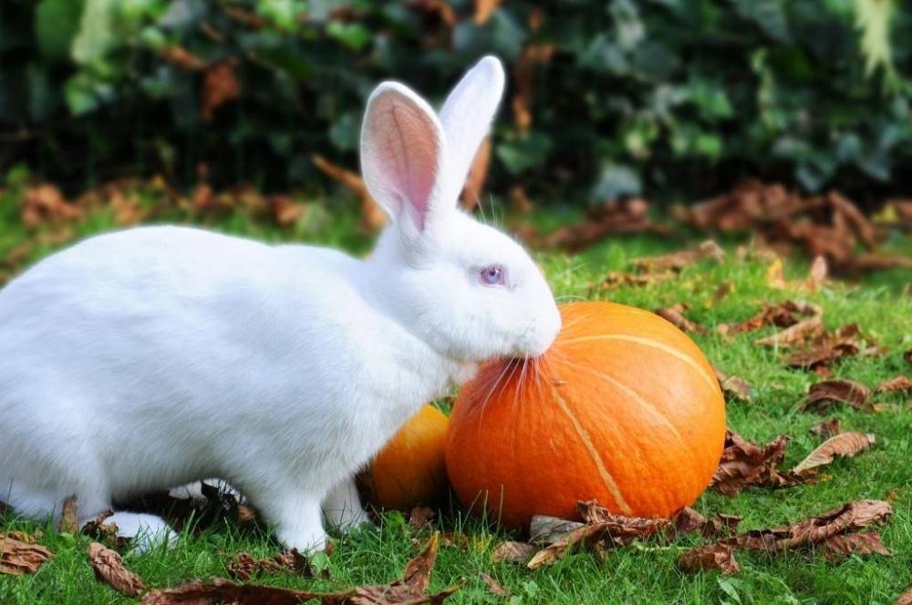 кормить кроликов тыквой