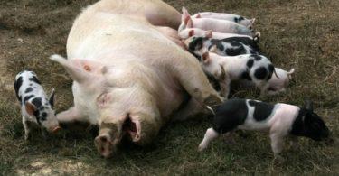 первый опорос свиньи