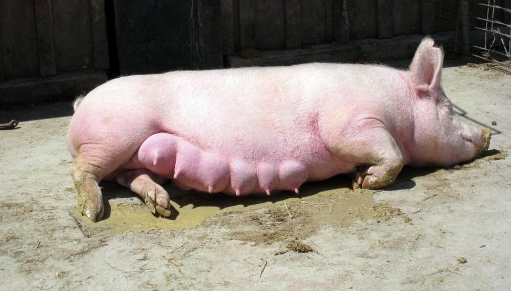 опорос свиней в домашних условиях