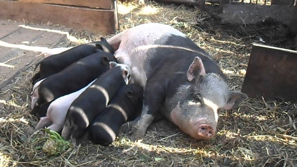 узнать что свинья скоро опоросится