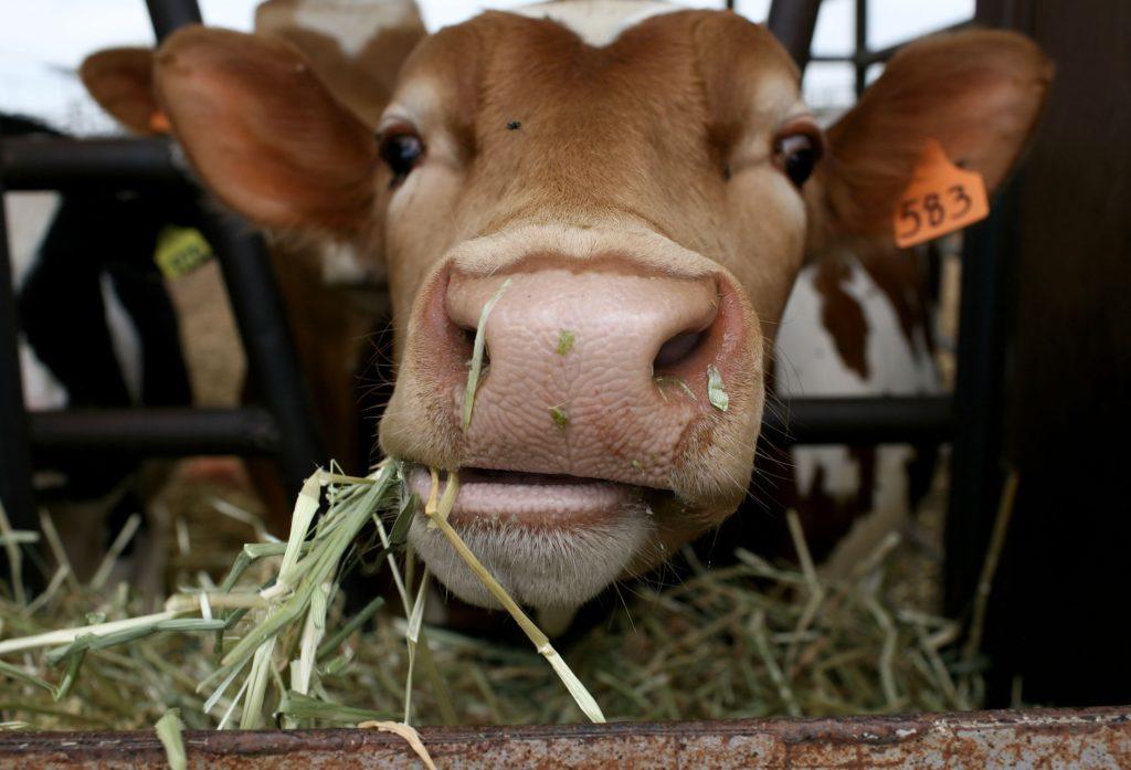 Голштинская порода бычков на откорм
