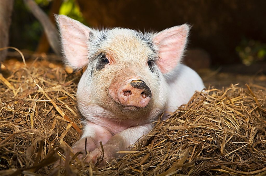 рацион кормления свиней таблица