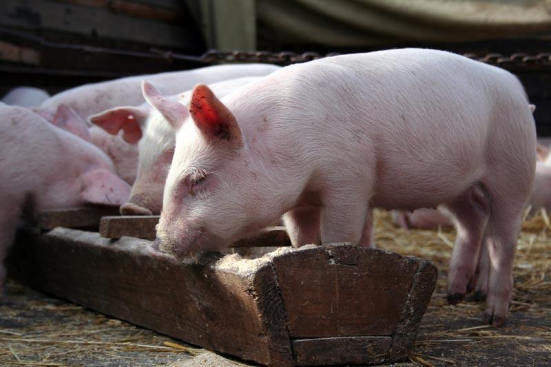 как откармливать свинью