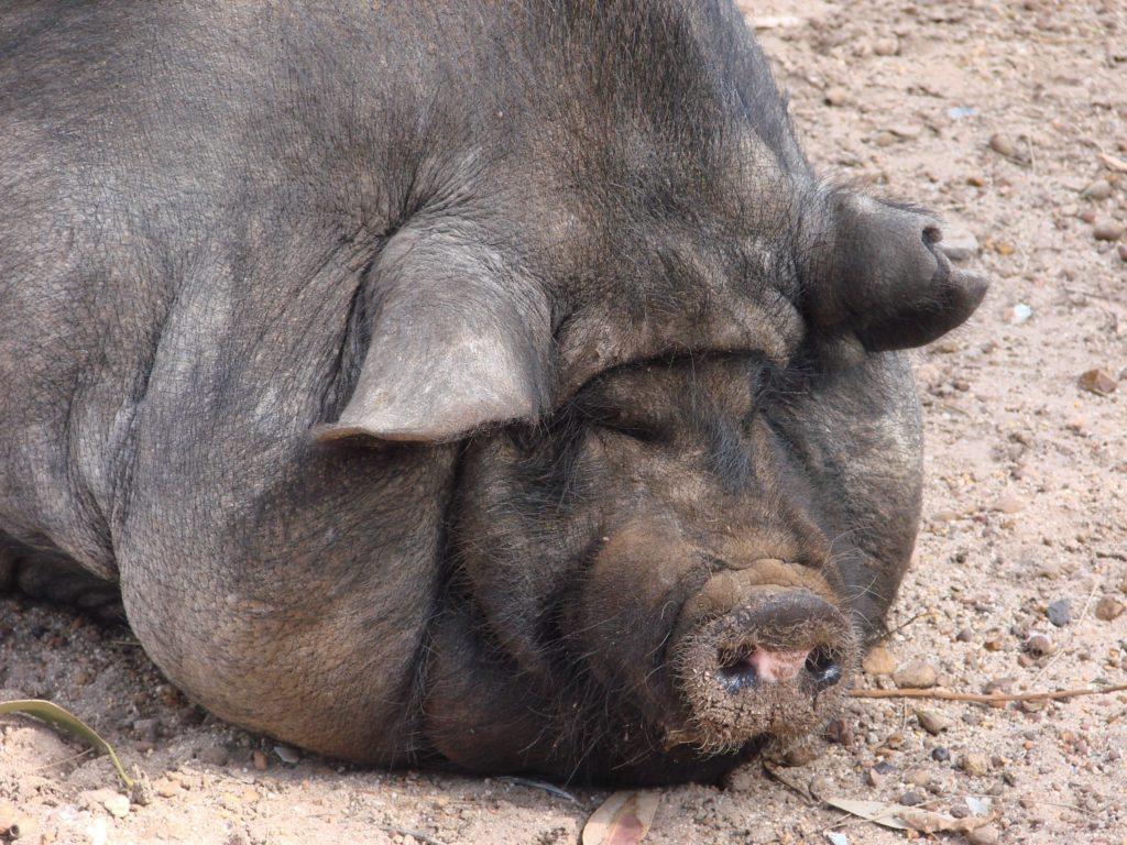 что едят свиньи