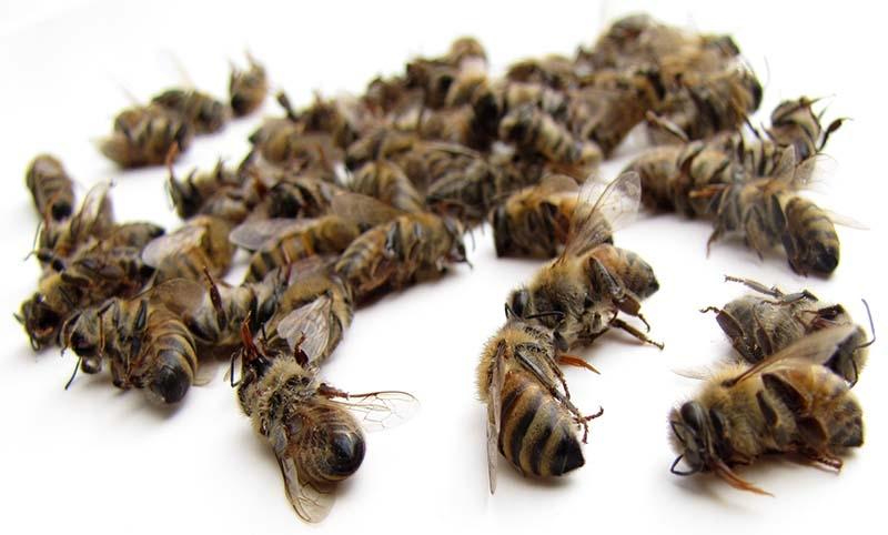 лекарство из пчелиного подмора