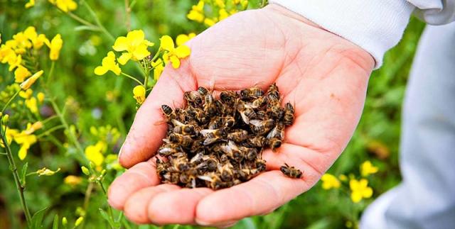 помор с мертвых пчел от каких болезней