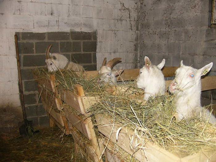 ухаживать за козой в домашних условиях