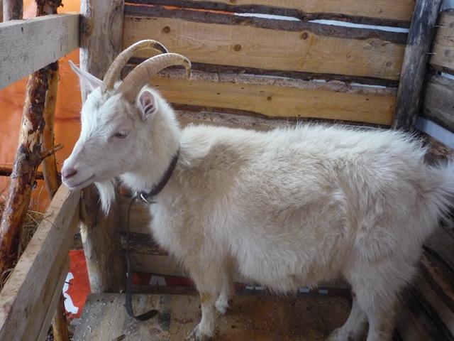 содержать козу