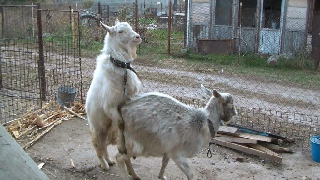 размножение коз