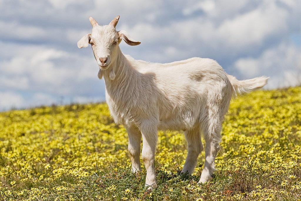 Разведении коз