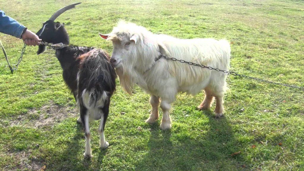 сколько живут козы