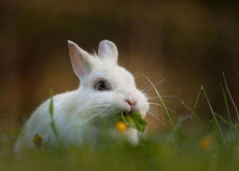 Обои Кролик ест траву на рабочий стол