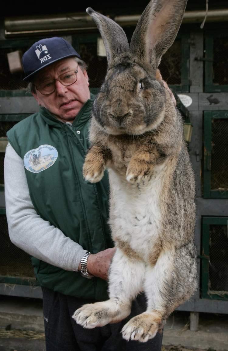 Фландр (Фламандский Гигант) - огромный добродушный кролик - Наши Кролики