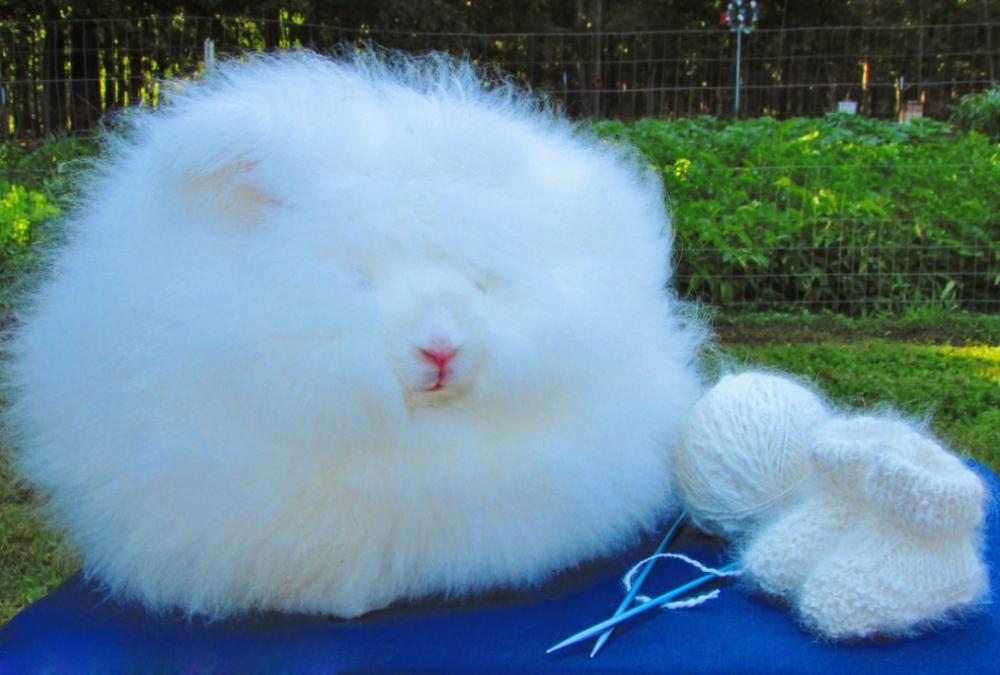 Ангорский кролик: фото, содержание, уход