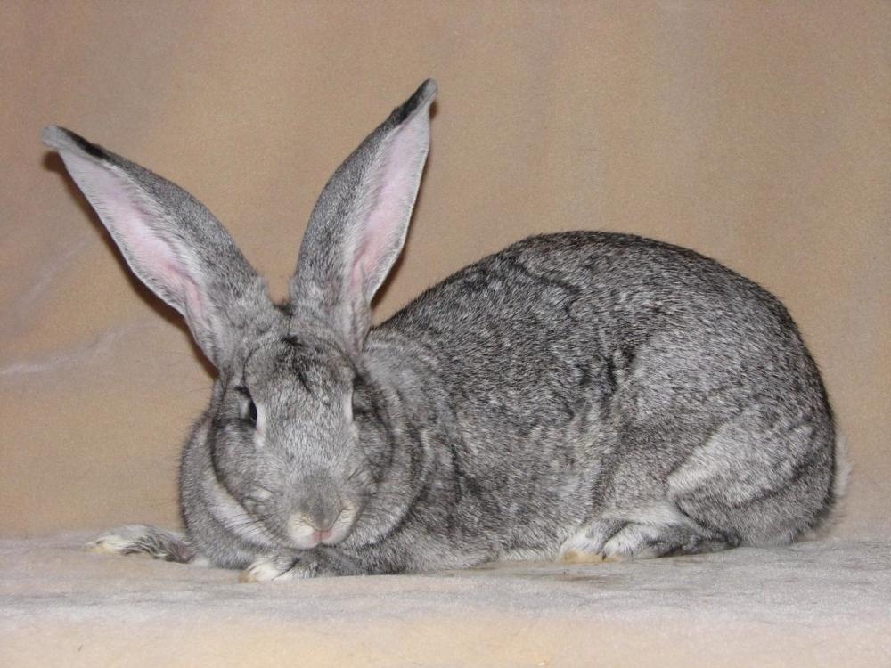 Советская шиншилла порода кроликов: описание, содержание и ...