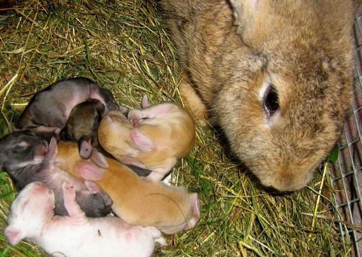 размножение кроликов в домашних условиях для начинающих