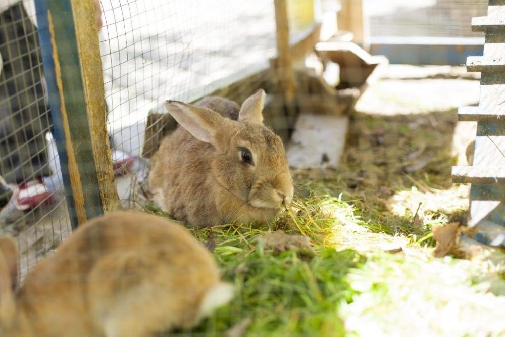 разведение кролей