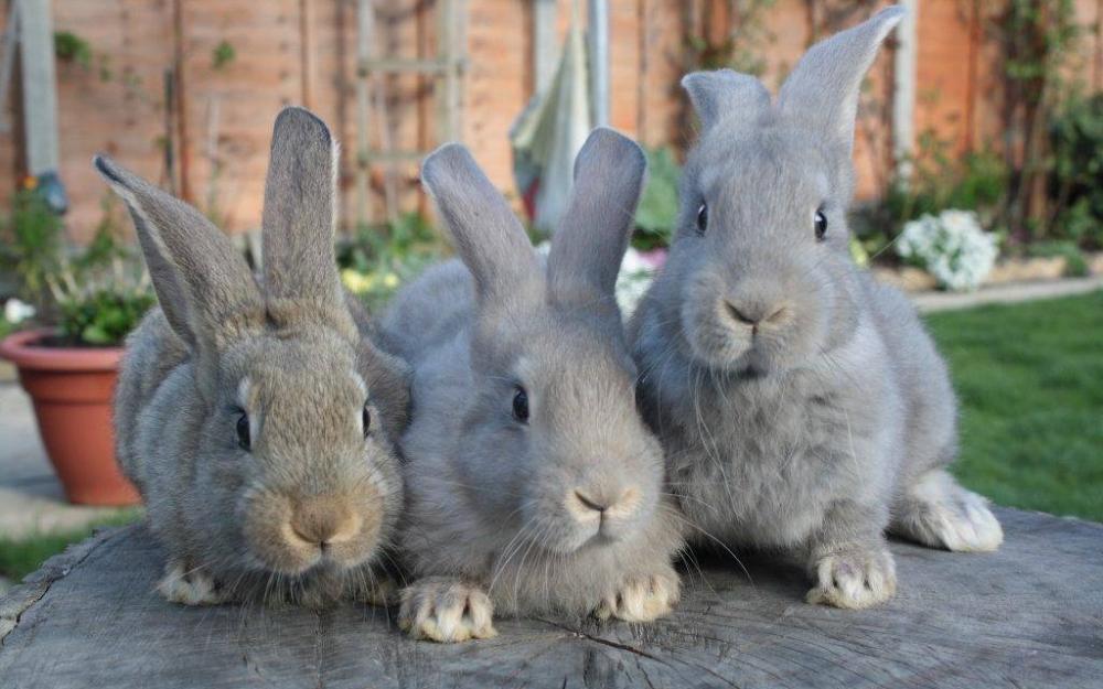 половое созревание кроликов