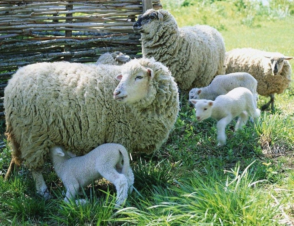 разводить овец в домашних условиях