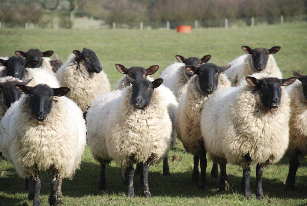 овцеводство в домашних условиях