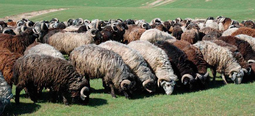 как разводить овец