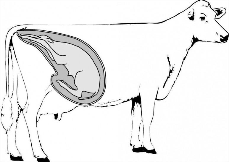 сколько корова носит теленка