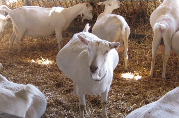 календарь окота у козы с датами