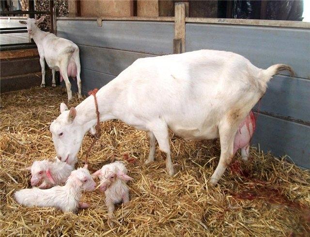 срок беременности козы
