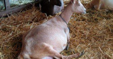 сколько длится беременность у козы