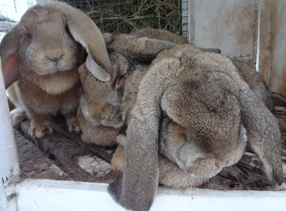 роды крольчихи