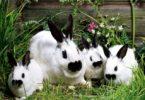 сколько длится беременность кроликов
