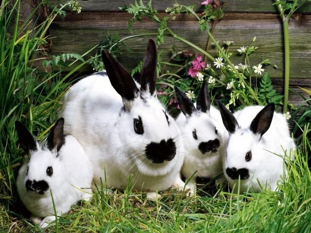 Признаки беременности у кроликов