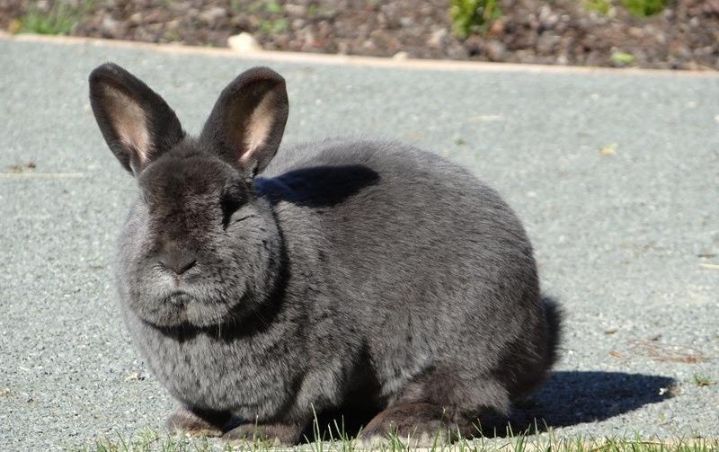 сколько дней крольчиха вынашивает крольчат