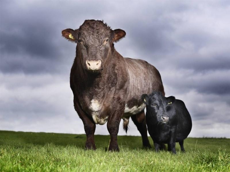 вес новорожденного теленка
