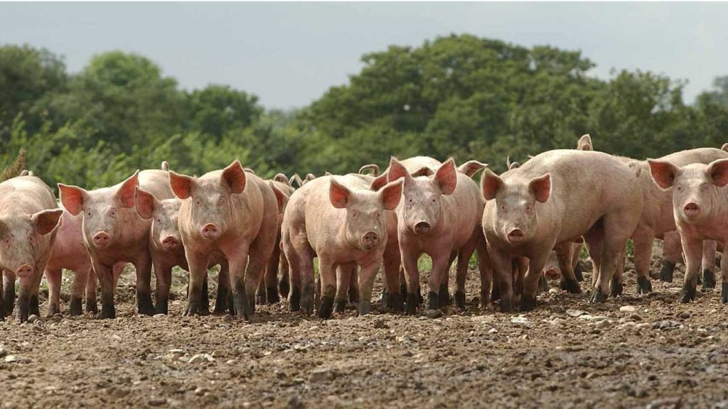 выращивание свиней на мясо в домашних условиях