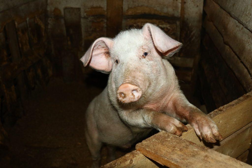 рентабельность свиноводства