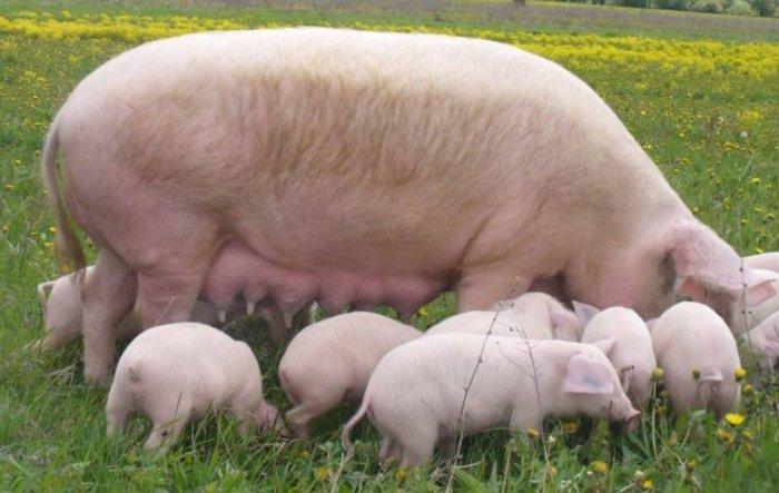 сибирская северная свинья