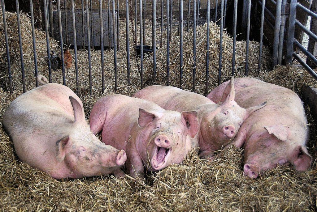 Почему свинья самое умное животное: 6 доказательств