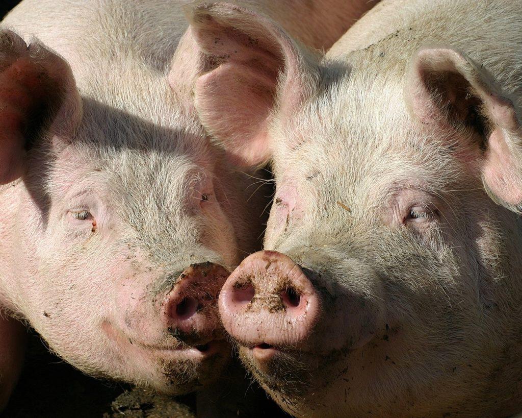 свиноводство в домашних условиях