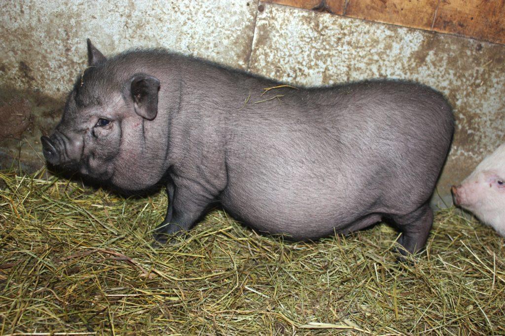 вьетнамские свиньи вес в 6 месяцев
